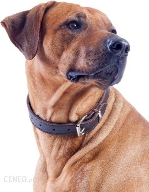 Dingo obroża ze skóry natłuszczanej